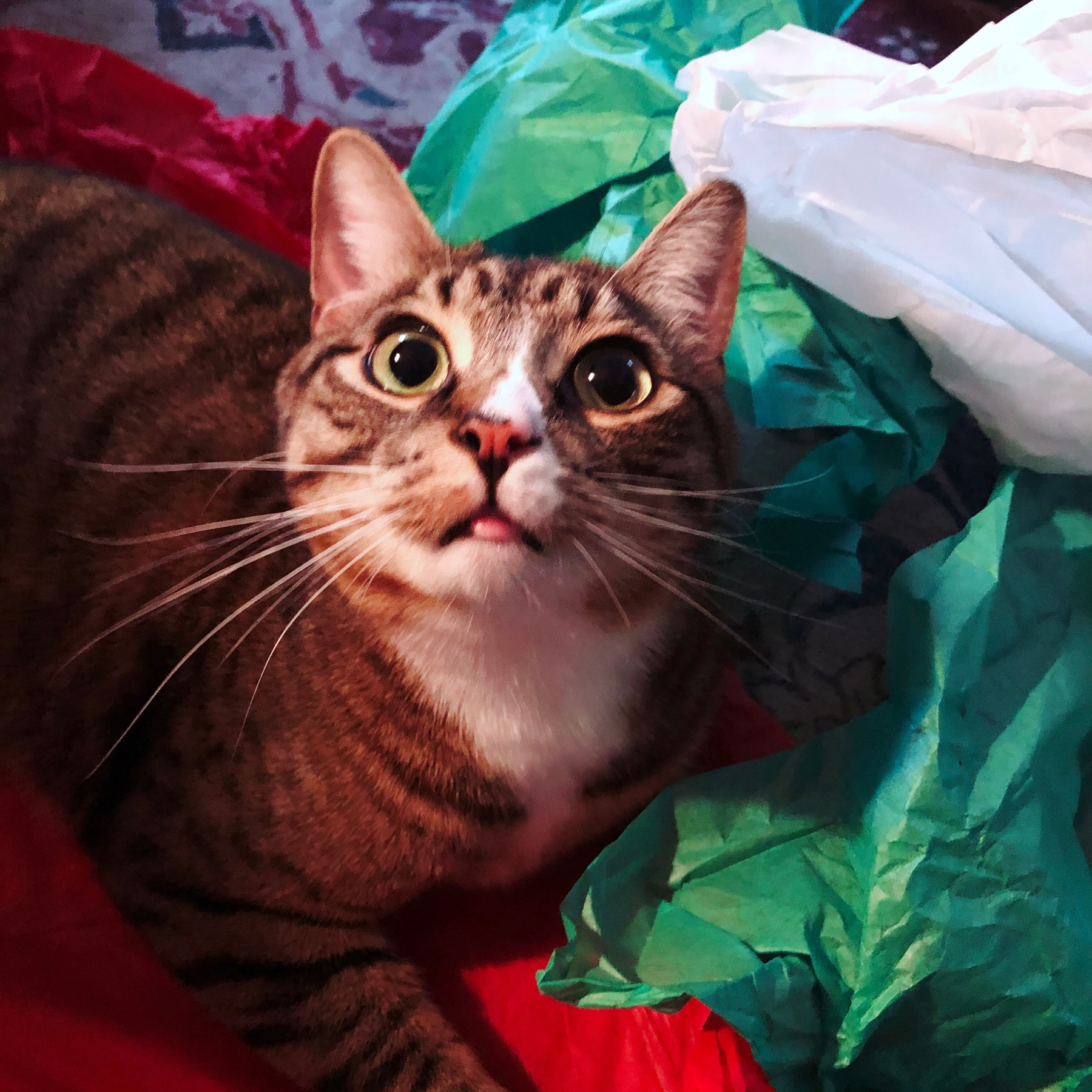 photo of a tabby kitten amidst red, white, and green tissue paper